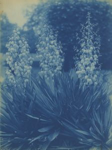 "Émile Zola (1840-1902), ""Flowers"", c. 1895-1900, cyanotype mounted on original board ©Daniel Blau, Munich"